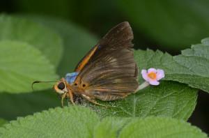 Bibasis oedipodea 黑斑傘弄蝶
